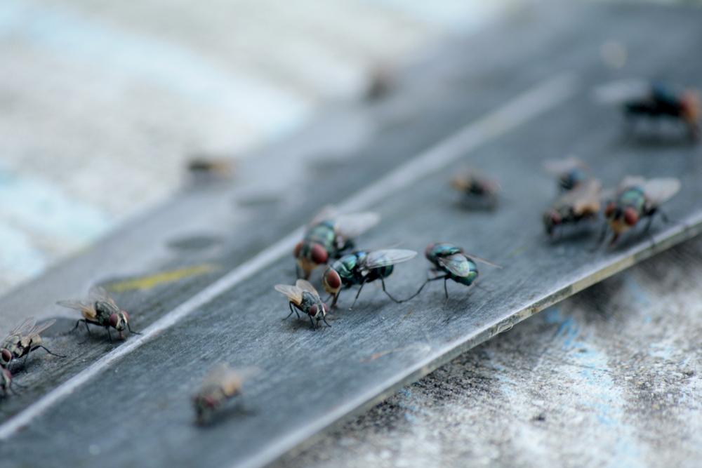 invasion de mouches