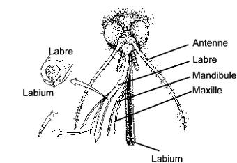 schéma de la bouche d'un moustique femelle