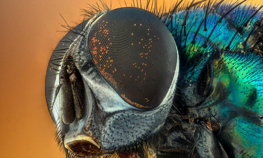 photo macro d'une mouche