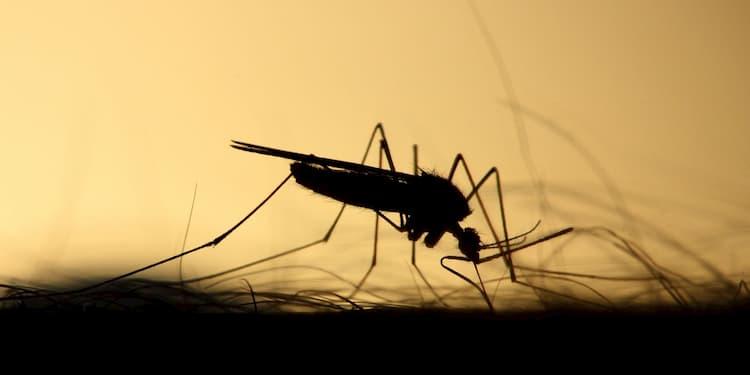 moustique posé sur un bras